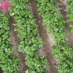 Potatoe Crops